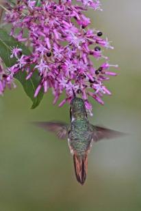 Scintillant Hummingbird (Selasphorus scintilla) by Margaret Sloan