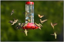 Twenty Hummingbirds at Feeder