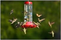 Twenty Hummingbirds at Feeder