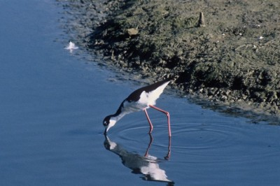 Black-necked Stilt (Himantopus mexicanus) Drinking from lake ©WikiC