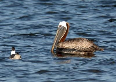 Brown Pelican and Laughing Gull by Dan MacDill Shore 2014