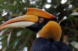 Great Hornbill (Buceros bicornis) by Dan
