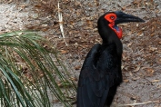 Southern Ground Hornbill (Bucorvus leadbeateri) Brevard Zoo by Dan