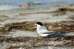 Caspian Tern (maybe) by Dan MacDill Shore 2014 (10)