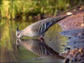 Crested Pigeon (Ocyphaps lophotes) by Ian