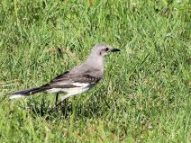 Northern Mockingbird (Mimus polyglottos) by Lee at Honeymoon Is SP