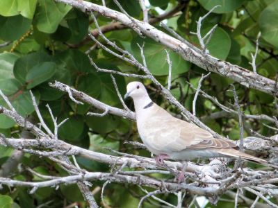 Eurasian Collared Dove (Streptopelia decaocto) by Lee at Honeymoon Is SP