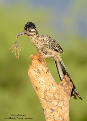 Greater Roadrunner (Geococcyx californianus) ©©Alan Murphy Flickr