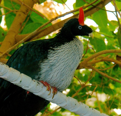 Horned Guan (Oreophasis derbianus) ©©Flickr JoshMore
