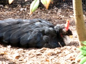 Horned Guan (Oreophasis derbianus) ©WikiC