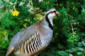 Rock Partridge (Alectoris graeca) ©Pixabay