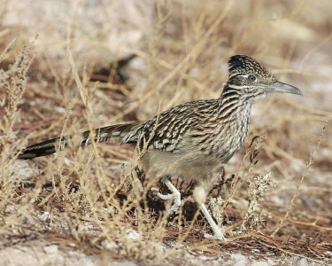 Greater Roadrunner (Geococcyx californianus) ©©Flickr