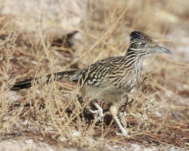 Greater Roadrunner (Geococcyx californianus) ©©Flickr
