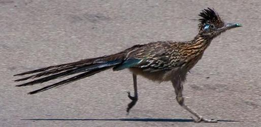 Greater Roadrunner (Geococcyx californianus) ©©Nathan Davis Bing