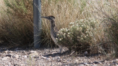 Greater Roadrunner (Geococcyx californianus) ©©thedrinkingbird Bing