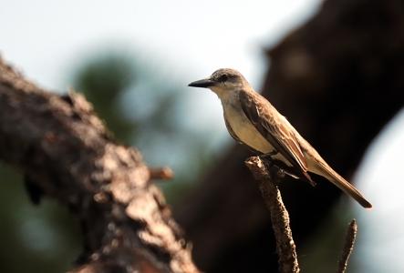 Grey Kingbird by Dan