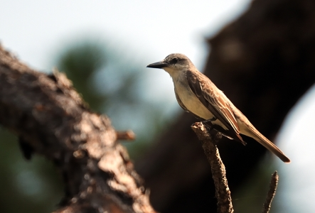 Grey Kingbird by Dan