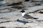 Laughing Gull by Dan MacDill Shore 2014 (1)