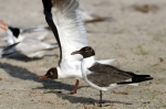 Laughing Gull by Dan MacDill Shore 2014 (5)