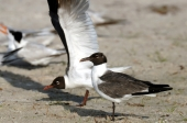 Laughing Gull by Dan MacDill Shore 2014