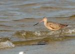 Marbled Godwit by Dan MacDill Shore 2014 (1)