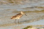 Marbled Godwit by Dan MacDill Shore 2014 (2)
