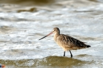 Marbled Godwit by Dan MacDill Shore 2014 (3)