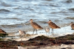 Marbled Godwits and Uncertain by Dan MacDill Shore 2014 (16)
