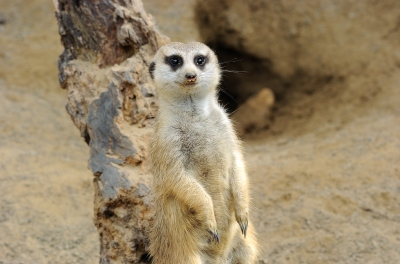 Meerkat at LP Zoo by Lee