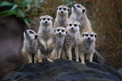 Meerkats at the Auckland Zoo ©©Auckland_Zoo