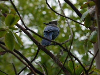 Steller's Jay (Cyanocitta stelleri) ©Flickr LeeJaffe
