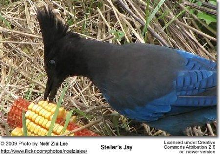 Steller's Jay (Cyanocitta stelleri) ©Flickr NoelZipLee