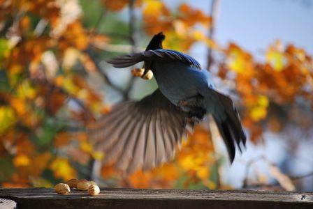 Steller's Jay (Cyanocitta stelleri) ©WikiC
