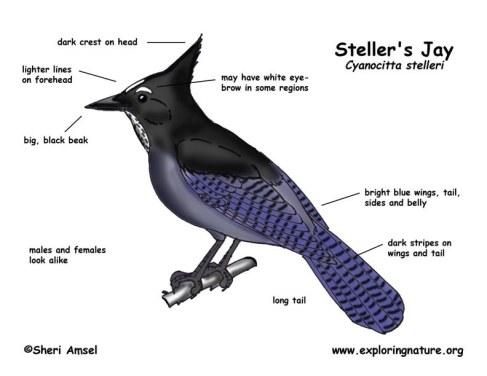 Steller's Jay (Cyanocitta stelleri) Decription ©sheriAnsel www.exploringnature.org