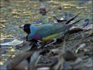 Gouldian Finch (Erythrura gouldiae) by Ian