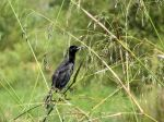 PAS-Icte Boat-tailed Grackle (Quiscalus major) Circle B by Lee 7-16-14 (2)