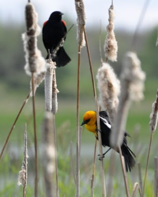 Red-winged and Yellow-headed Blackbirds on Cattails ©Orcawatcher.com