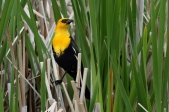 Yellow-headed Blackbird (Xanthocephalus xanthocephalus) ©WikiC Alan Vernon