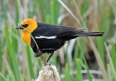 Yellow-hooded Blackbird (Chrysomus icterocephalus) ©Flickr Bob