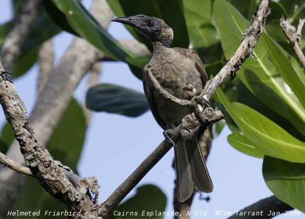 Hornbill Friarbird (Philemon yorki) by Tom Tarrant