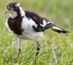 Magpie-lark (Grallina cyanoleuca) ©Creation Moments