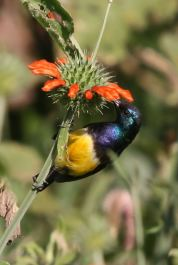 Variable Sunbird (Cinnyris venustus) ©WikiC