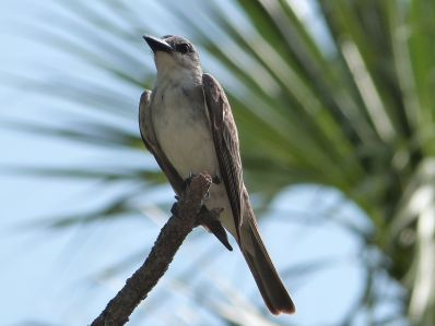 Grey Kingbird (Tyrannus dominicensis) by Lee at Honeymoon Is SP