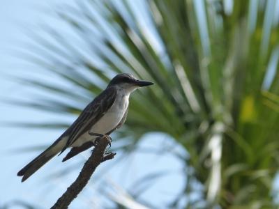 Grey Kingbird (Tyrannus dominicensis) by Lee at Honeymoon Is SP