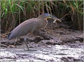 Bare-throated Tiger Heron (Tigrisoma mexicanum) by Ray