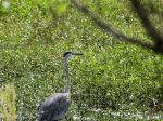 PEL-Arde Great Blue Heron (Ardea herodias) Circle B by Lee 7-16-14 (2)