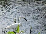 PEL-Arde Snowy Egret (Egretta thula) Circle B by Lee 7-16-14 (2)