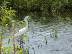 PEL-Arde Snowy Egret (Egretta thula) Circle B by Lee 7-16-14 (7)