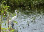 Snowy Egret (Egretta thula) Circle B by Lee 7-16-14 (7)