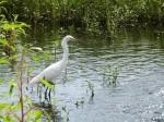 PEL-Arde Snowy Egret (Egretta thula) Circle B by Lee 7-16-14 (8)